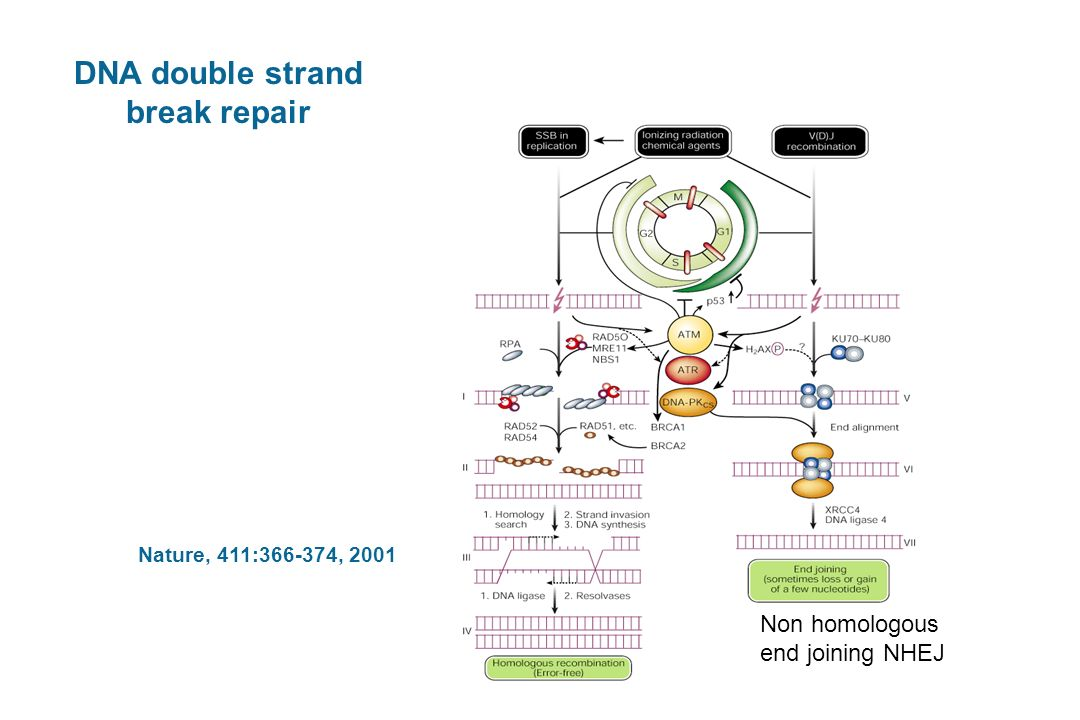 DNA double strand break repair