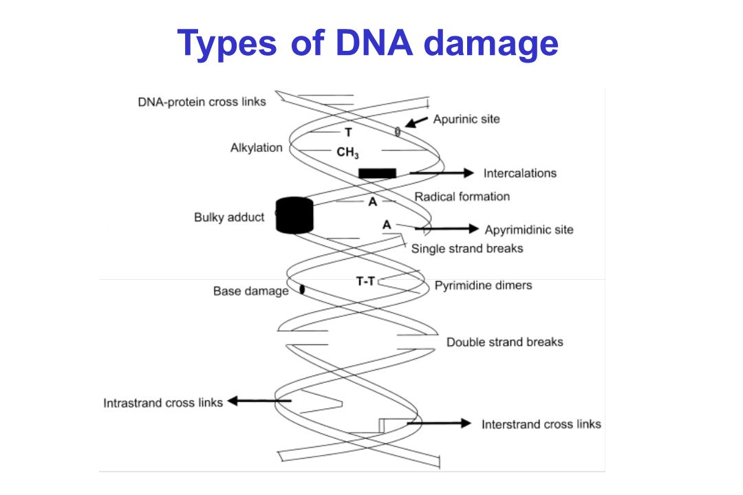 Types of DNA damage Gene, 250:15-30, 2000