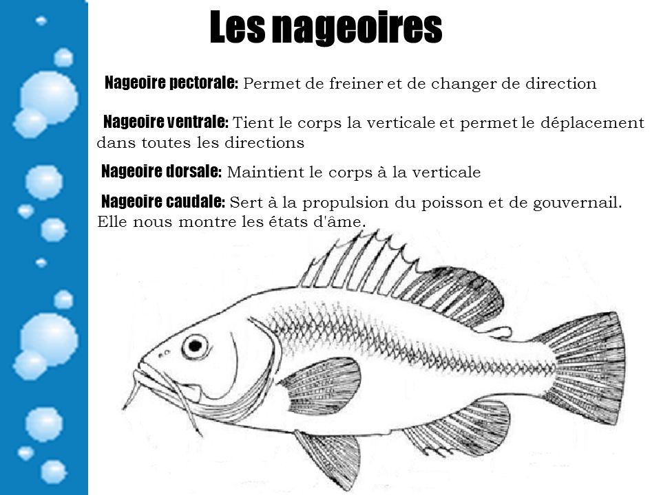 Les nageoires