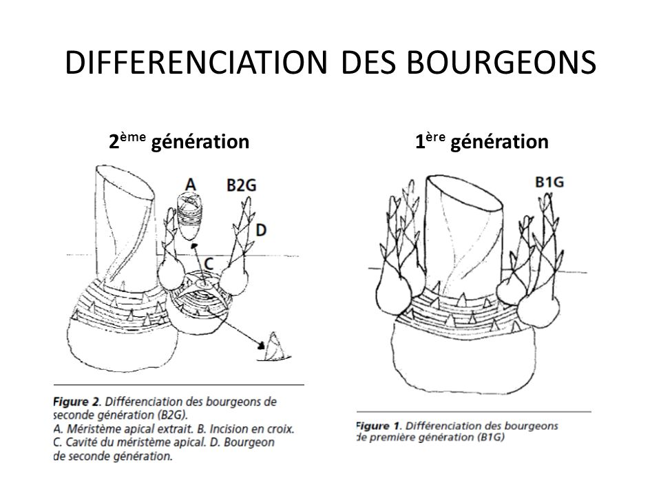 DIFFERENCIATION DES BOURGEONS