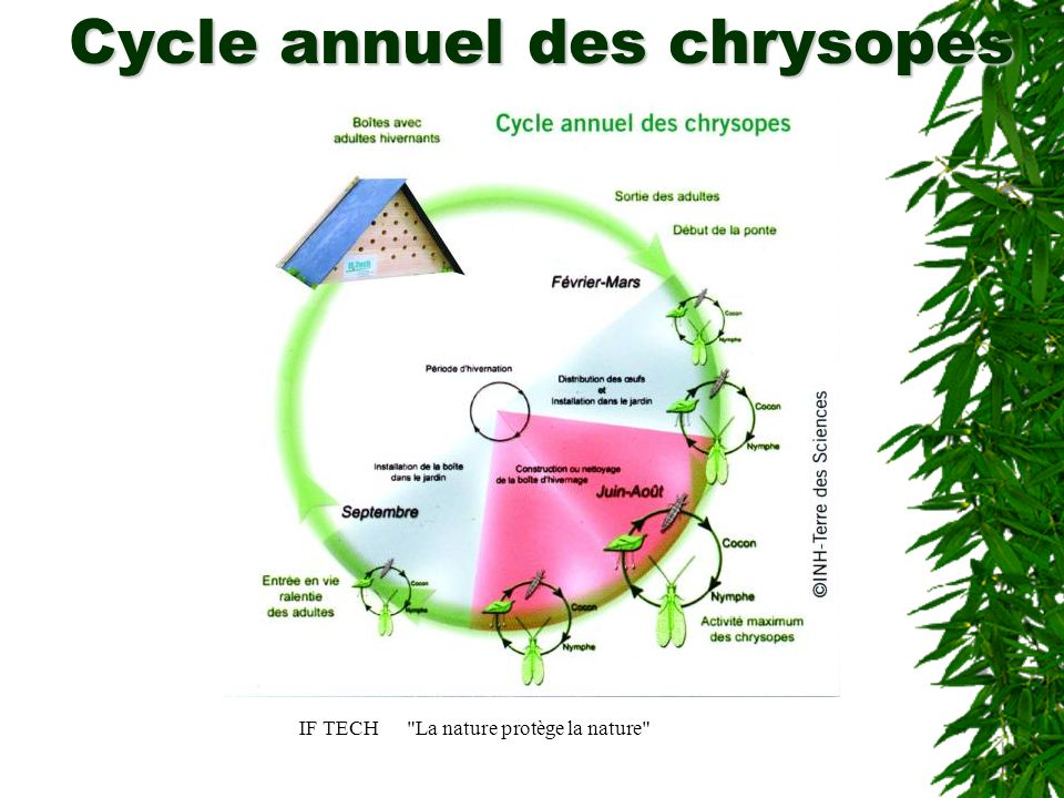 Cycle annuel des chrysopes