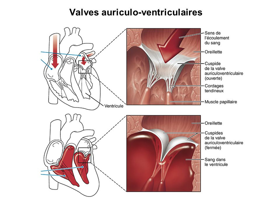 Valves auriculo-ventriculaires