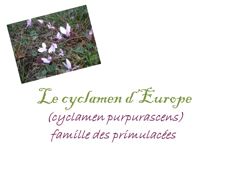 Le cyclamen d'Europe (cyclamen purpurascens)
