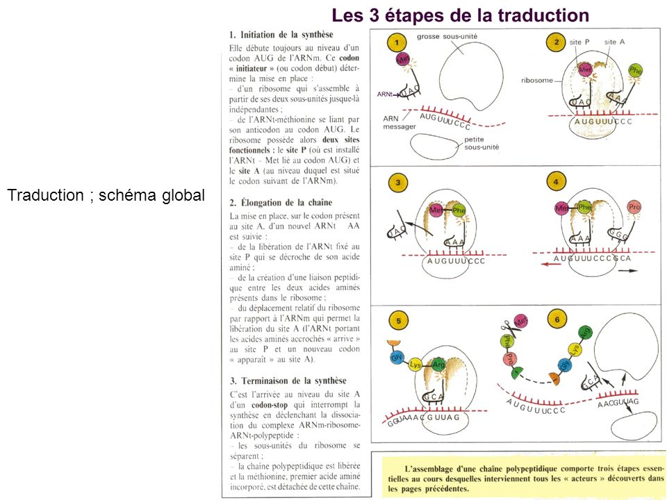 Traduction ; schéma global