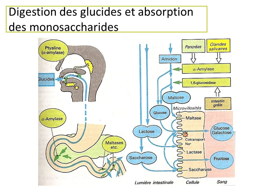 Digestion des glucides et absorption des monosaccharides