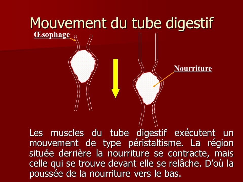Mouvement du tube digestif