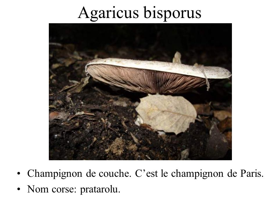 42 champignons comestibles ppt video online t l charger. Black Bedroom Furniture Sets. Home Design Ideas