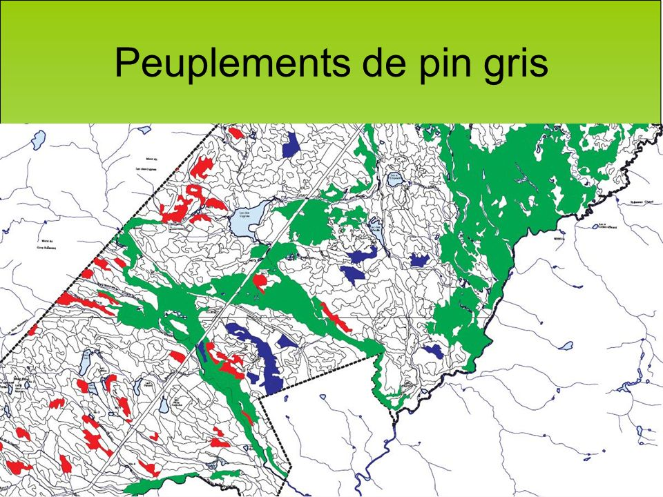 Peuplements de pin gris