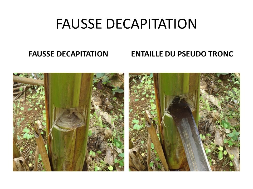 FAUSSE DECAPITATION FAUSSE DECAPITATION ENTAILLE DU PSEUDO TRONC