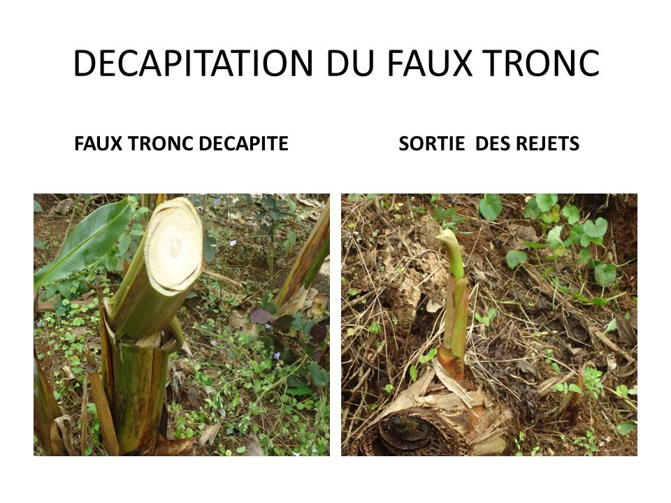 DECAPITATION DU FAUX TRONC