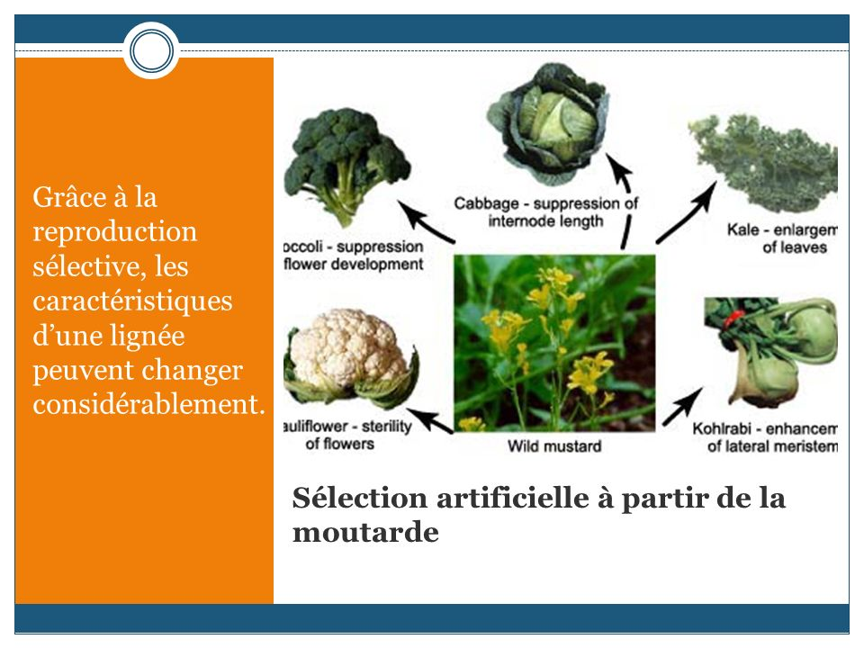 Sélection artificielle à partir de la moutarde