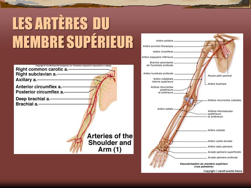 artère sylvienne superficielle antérieure