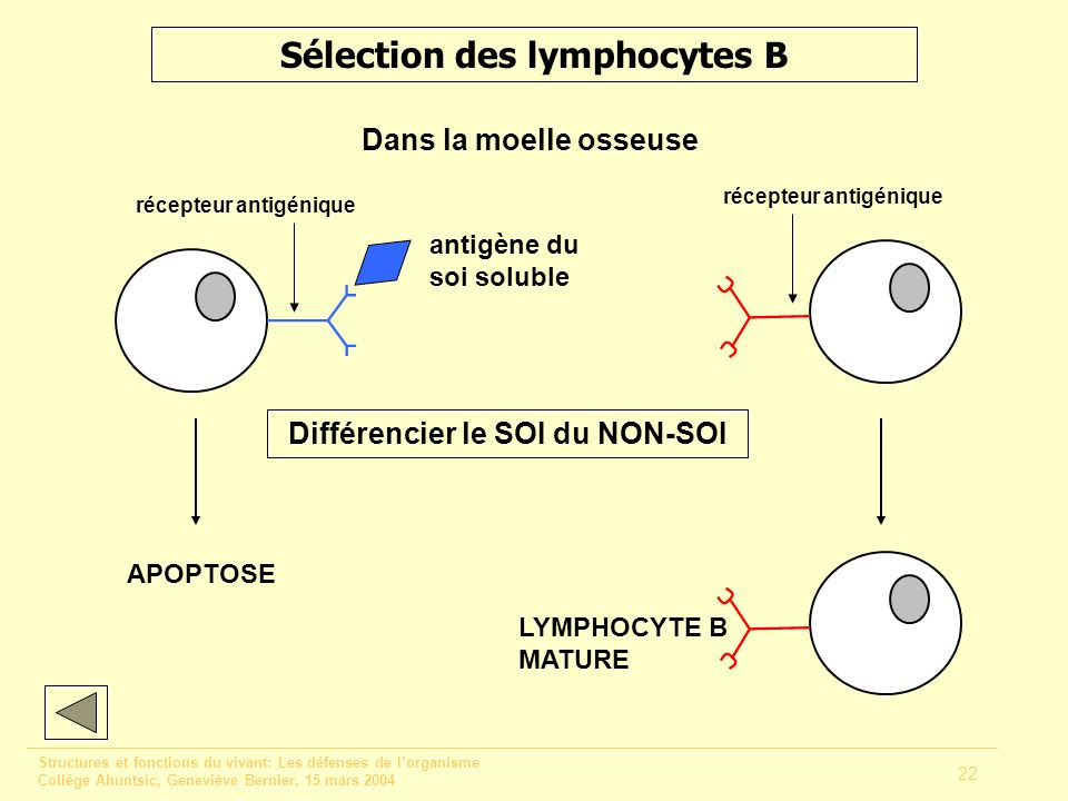 Sélection des lymphocytes B