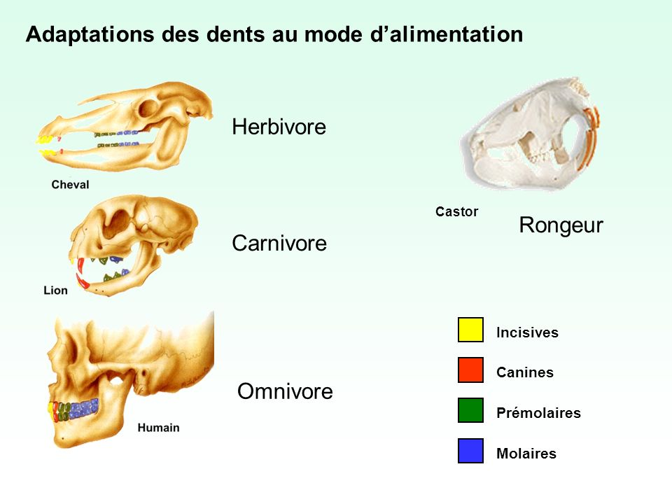 Adaptations des dents au mode d'alimentation