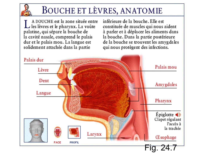 Anatomie Bouche bouche. - ppt video online télécharger