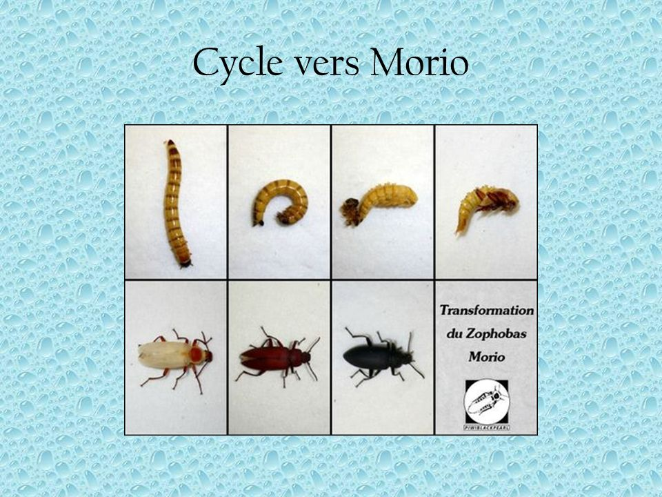 Cycle vers Morio