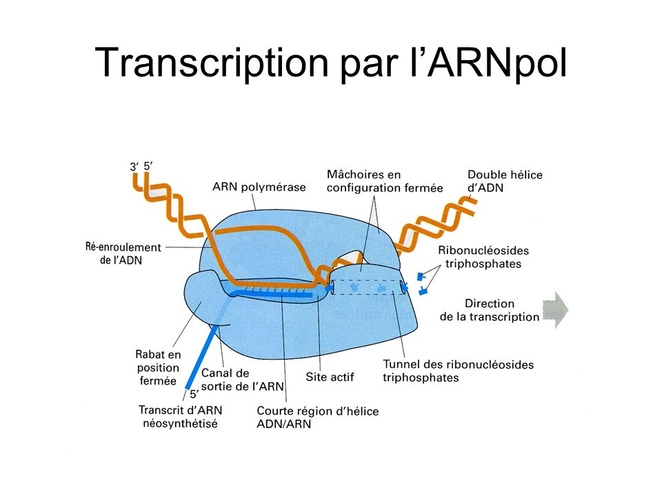 Transcription par l'ARNpol