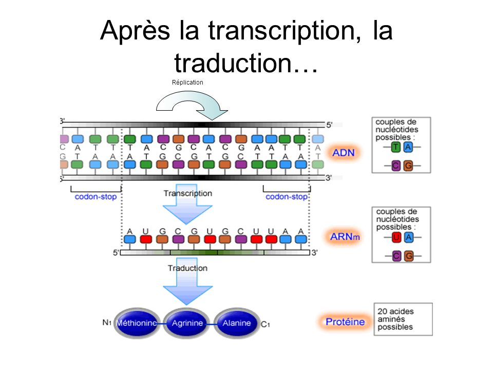 Après la transcription, la traduction…