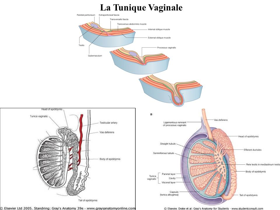 La Tunique Vaginale