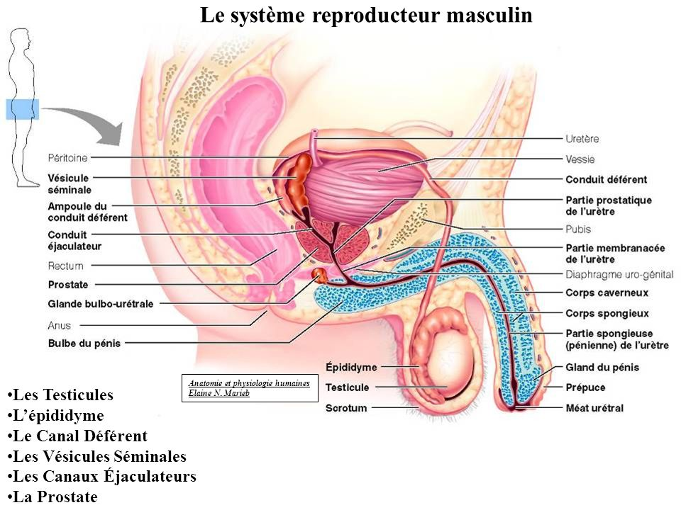 Berühmt Anatomie Und Physiologie Powerpoint Zeitgenössisch ...