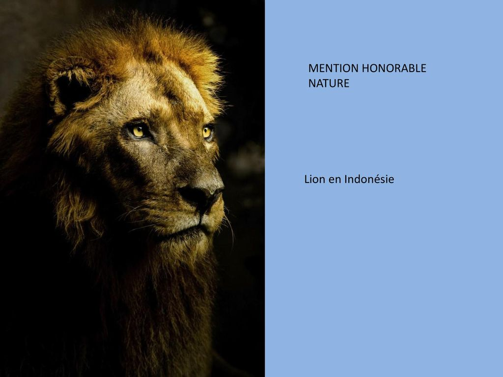 MENTION HONORABLE NATURE Lion en Indonésie