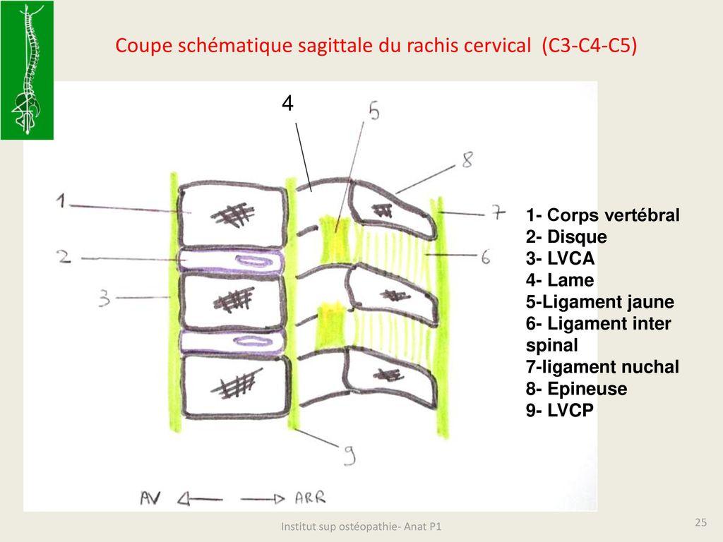 vertèbre c2 c3 ostéopathie