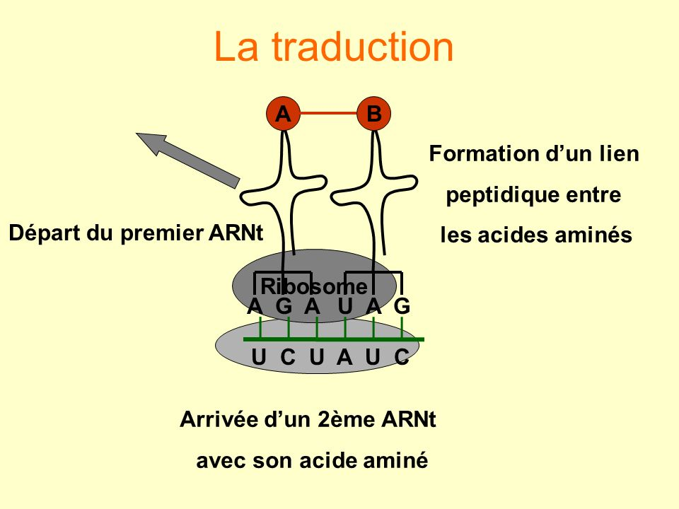 La traduction A G A A U A G B Formation d'un lien peptidique entre