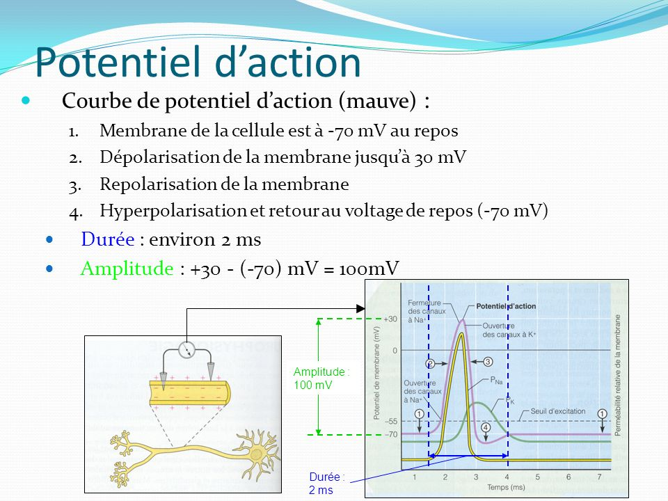Potentiel d'action Courbe de potentiel d'action (mauve) :