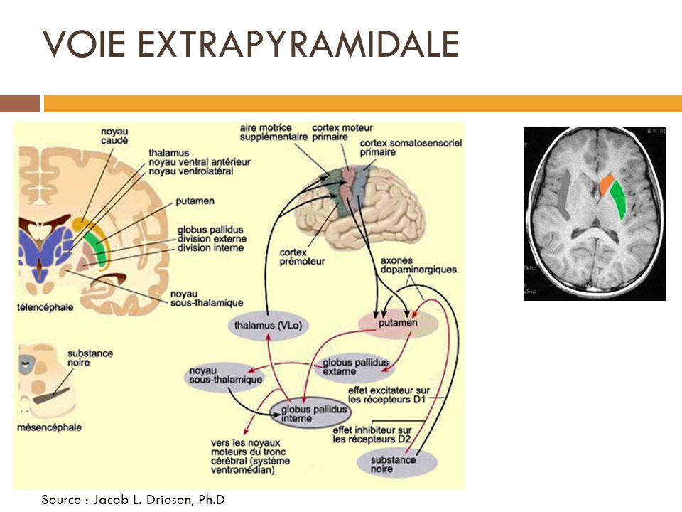 VOIE EXTRAPYRAMIDALE Source : Jacob L. Driesen, Ph.D