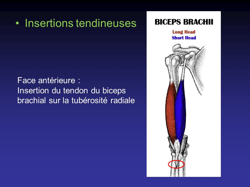Insertions tendineuses