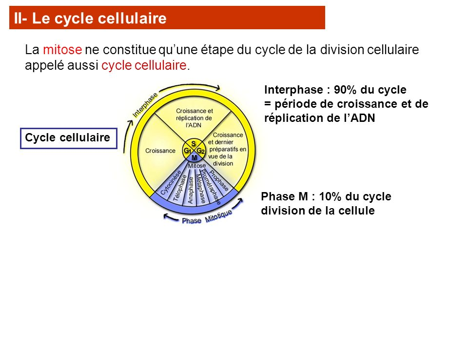 II- Le cycle cellulaire