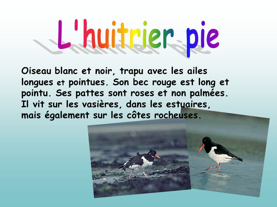 L huitrier pie