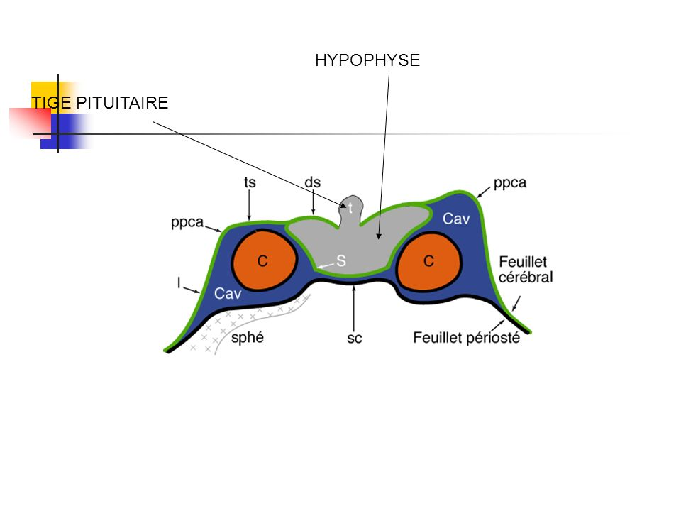 HYPOPHYSE TIGE PITUITAIRE