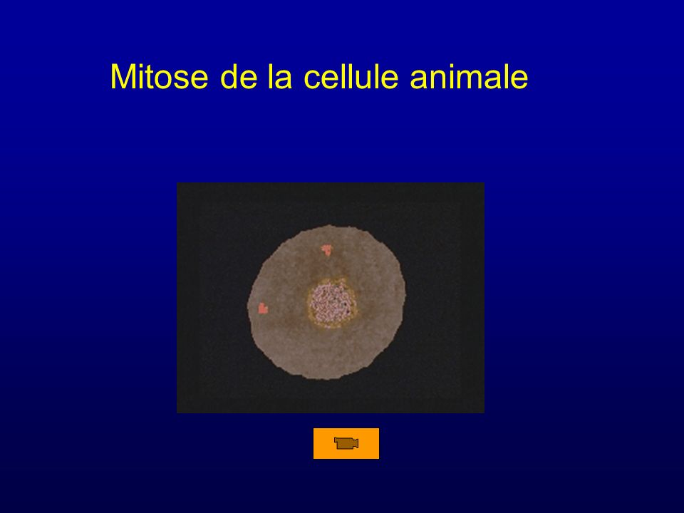 Mitose de la cellule animale