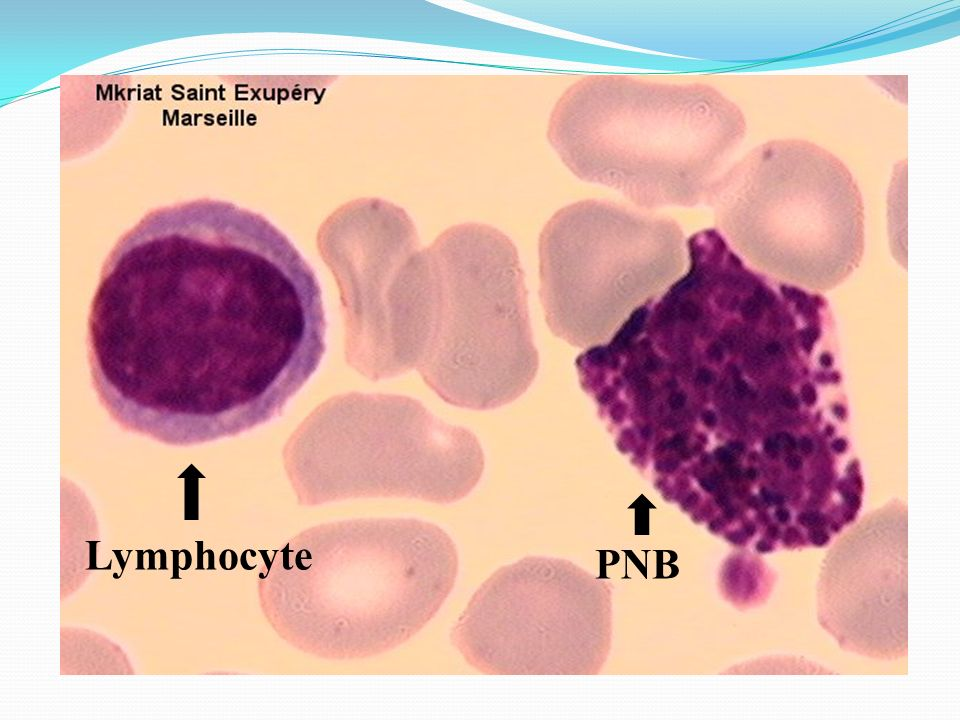 Lymphocyte PNB