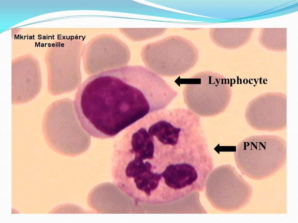 Lymphocyte PNN