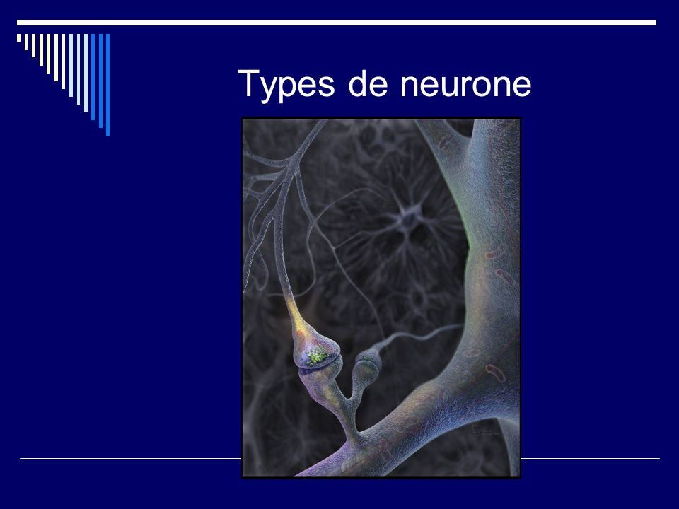 Types de neurone