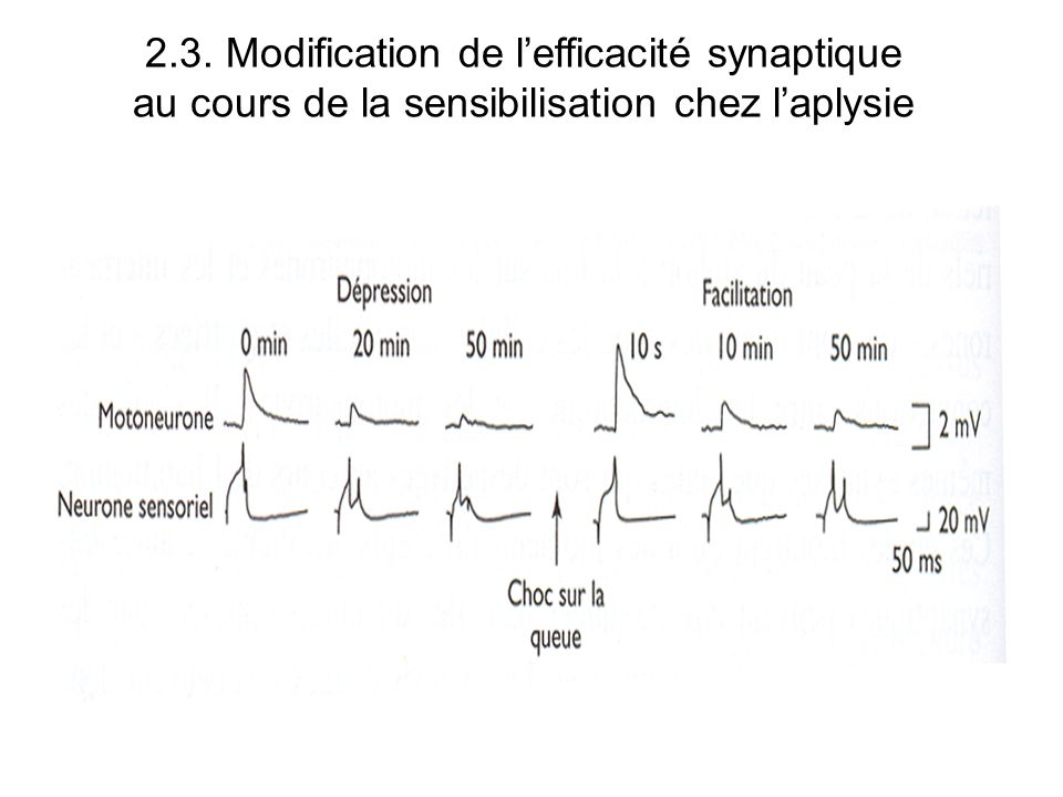 2.3. Modification de l'efficacité synaptique