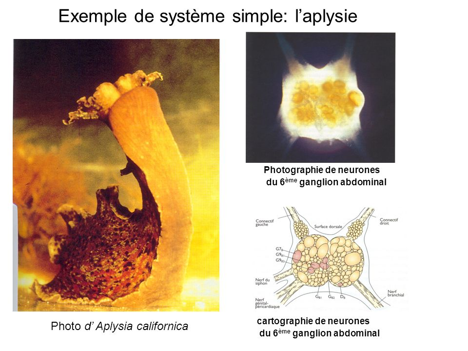 Exemple de système simple: l'aplysie