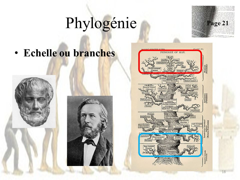 Phylogénie Page 21 Echelle ou branches