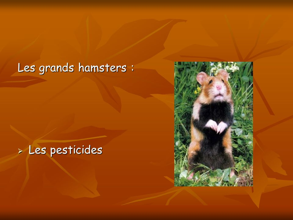 Les grands hamsters : Les pesticides