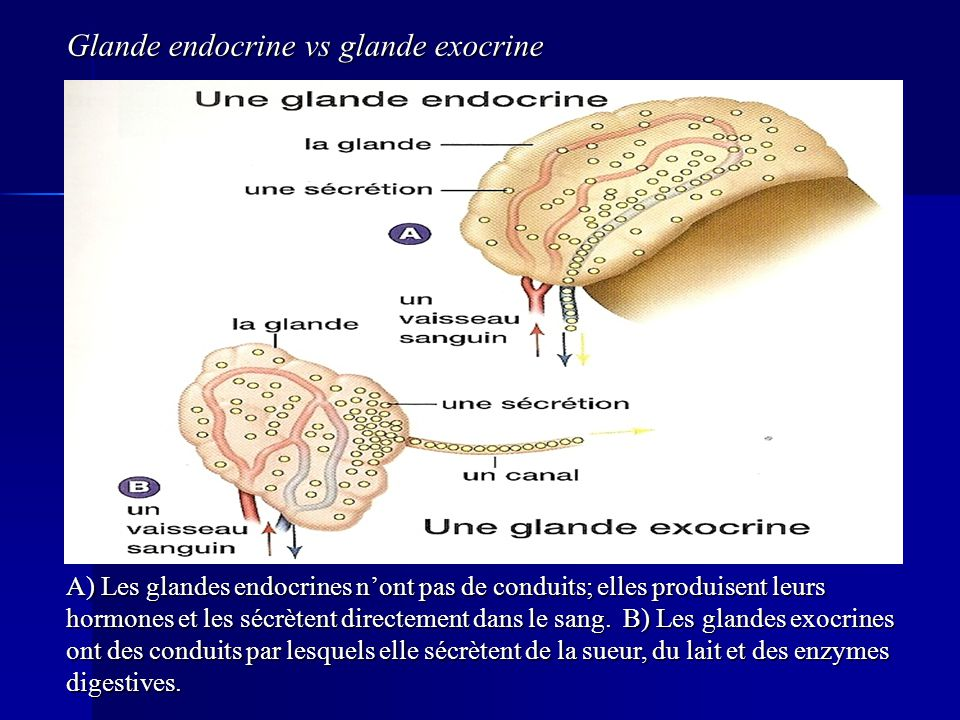 Glande endocrine vs glande exocrine
