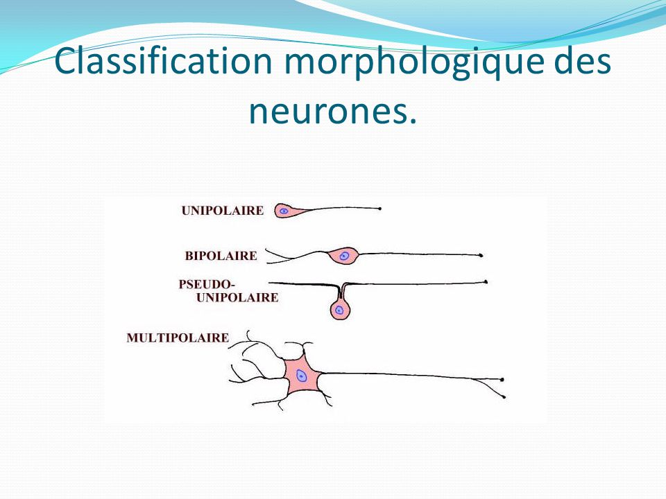 Classification morphologique des neurones.