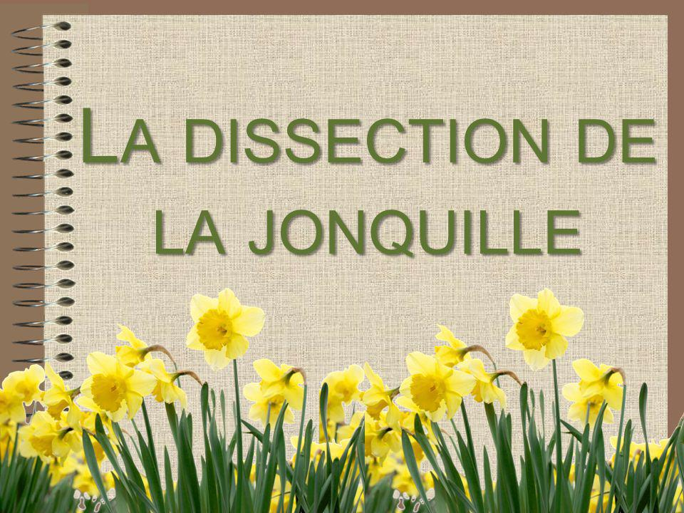 La dissection de la jonquille