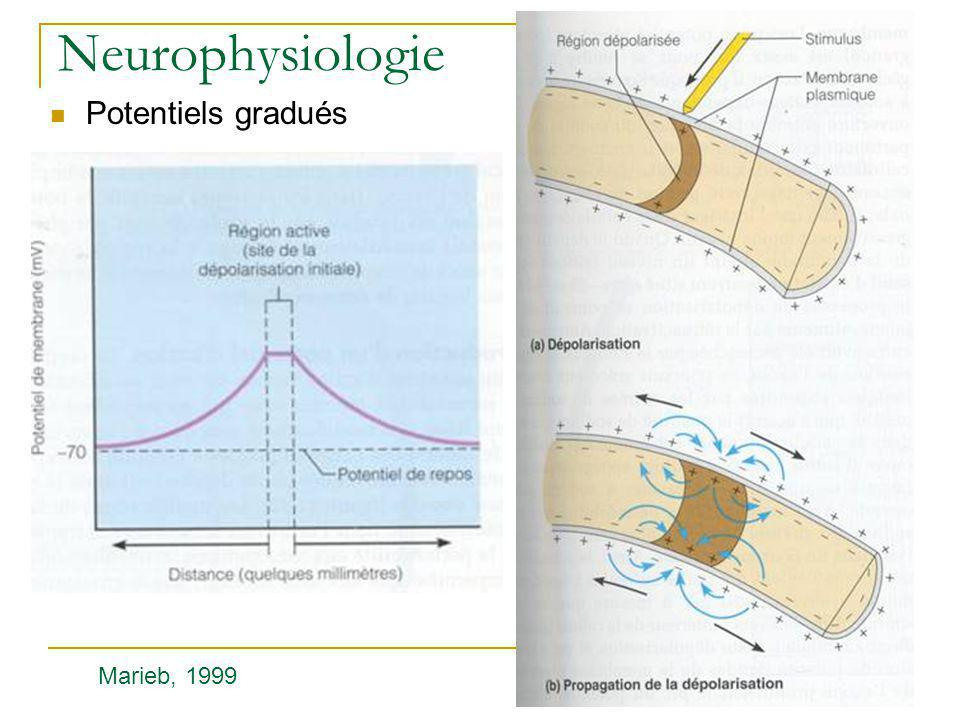 Neurophysiologie Potentiels gradués Marieb, 1999