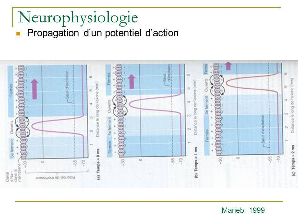 Neurophysiologie Propagation d'un potentiel d'action Marieb, 1999