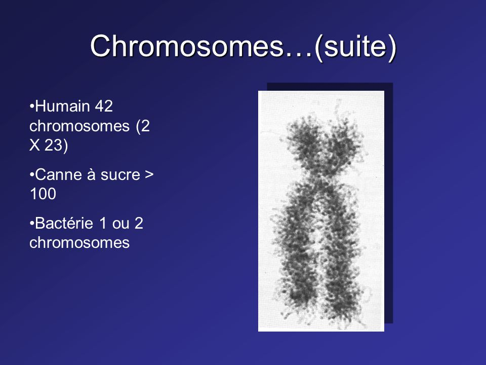 Chromosomes…(suite) Humain 42 chromosomes (2 X 23)