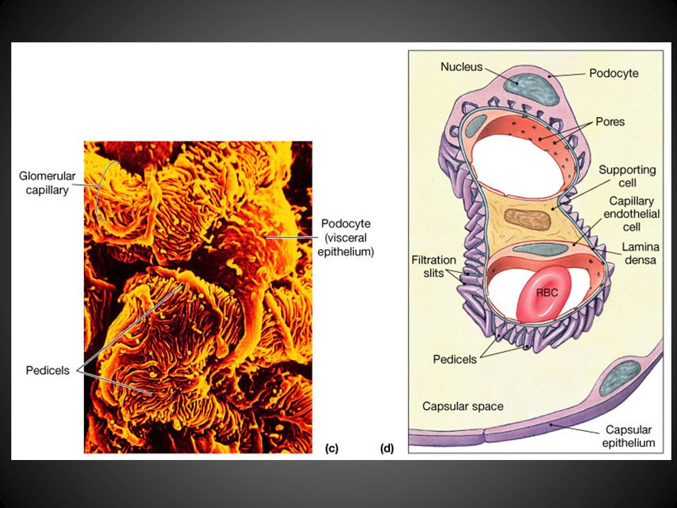 Figure 26.8 The Renal Corpuscle