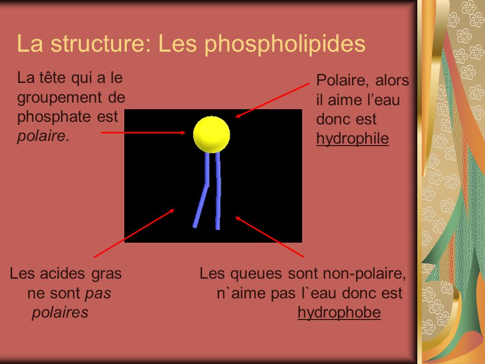 La structure: Les phospholipides