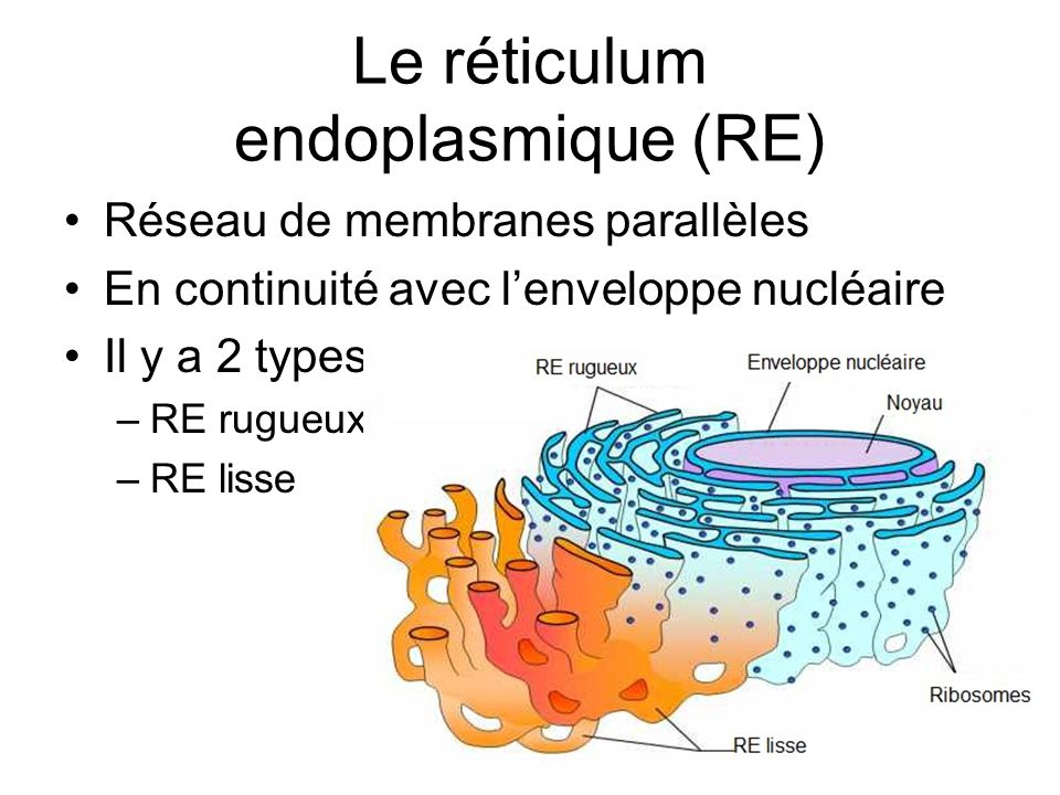 Le réticulum endoplasmique (RE)